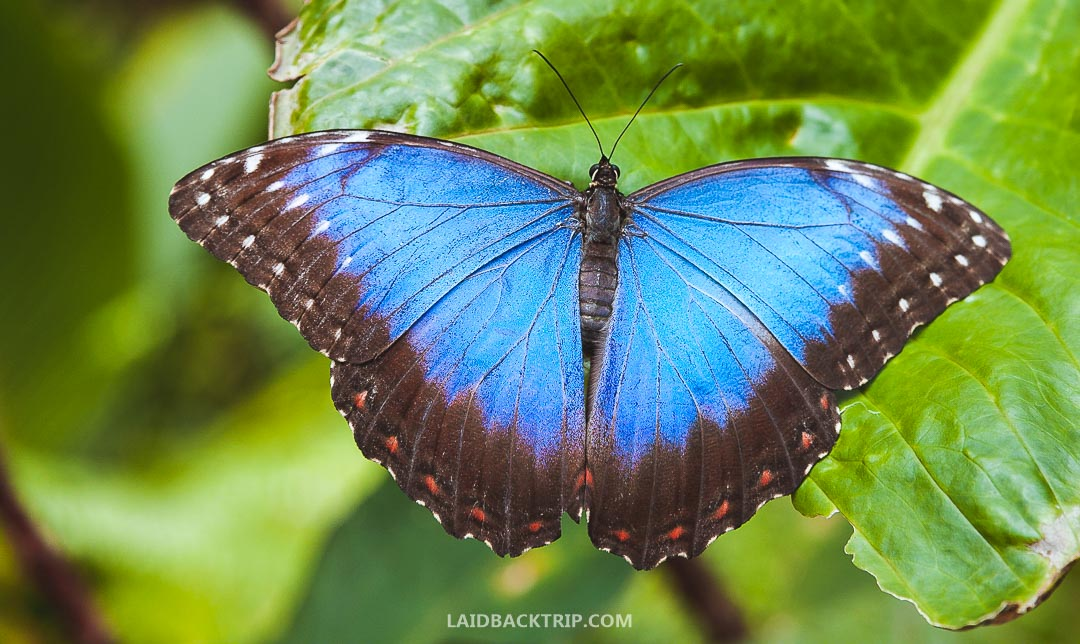 There is a butterfly garden you can visit in El Valle de Anton, Panama.