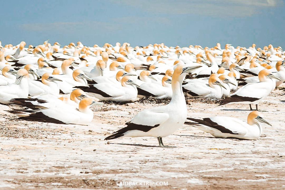 There are many protected Gannets colonies at Cape Kidnappers.