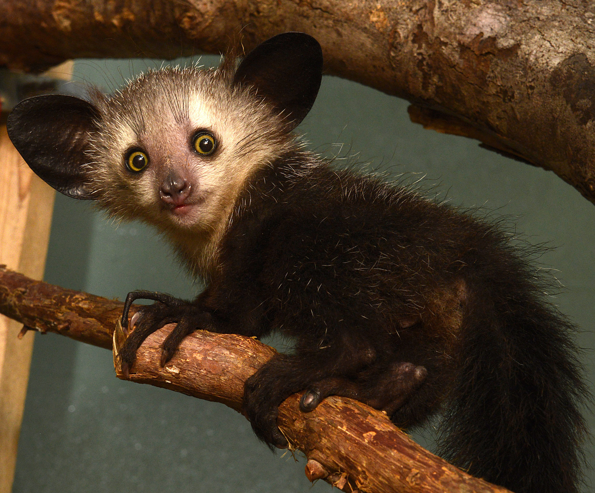 Don't look further than this aye aye (a lemur like creature native to Madagascar) for proof enlightenment exists