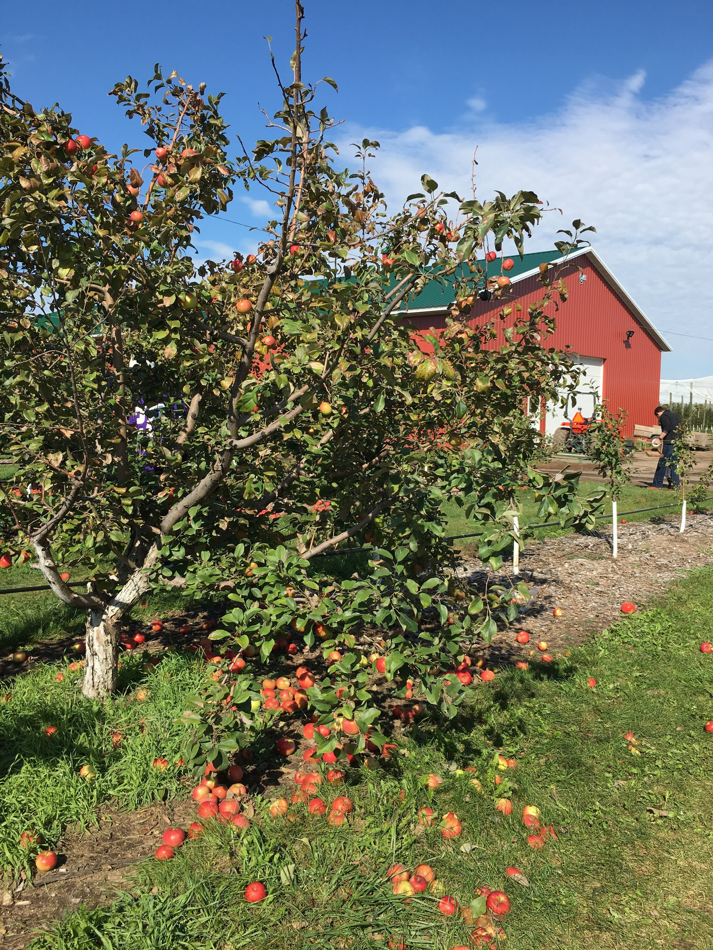 A trip to the apple orchard   Cassia & Co.