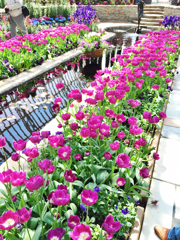 Como Conservatory - Tulips