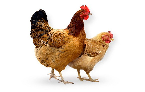 homepage-chickens_1.jpg