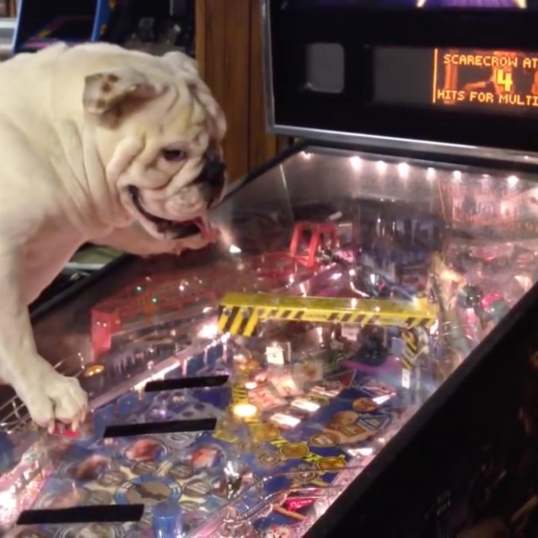 Dog plays pinball