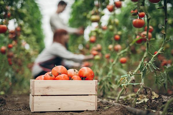 Volunteer tomatoes.png