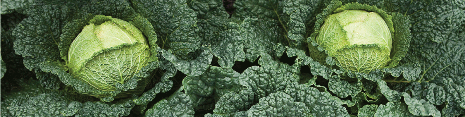 Cabbage-banner.png