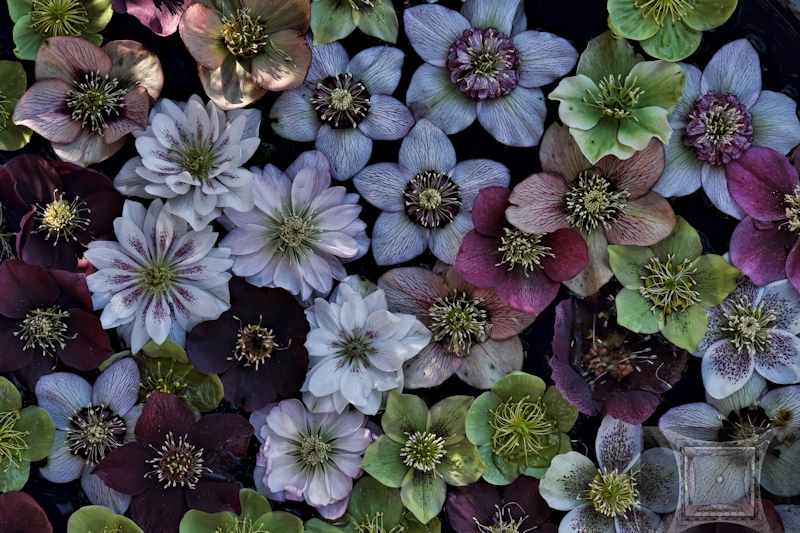 Floating Helleborus-Paul Bild.jpg