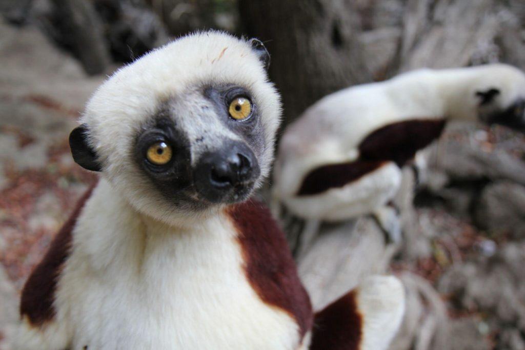 Sifika-Lemur-1024x683.jpg