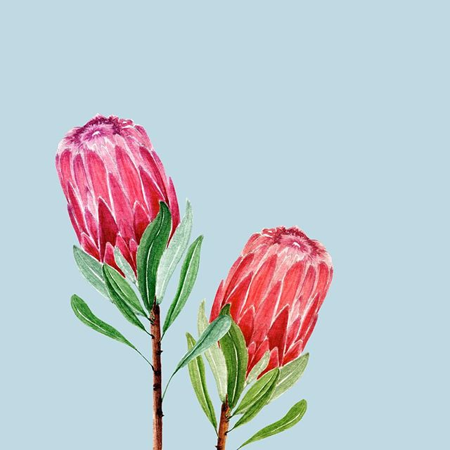 Another week ahead of us. Sharing the #protea watercolour with you today. My plan for next week is to continue exploring Gouache as a medium. What's your creative goal for next week? . . . .  #watercolortutorial #watercolor #watercolour  #carveouttimeforart #watercolorleaves  #greenery #protea #botanical #surelysimpleart#surelysimplepainting #surelysimple#surelysimplechallenge #watercolor_daily#makersmovement #maketimeforart #artjournal#creativityfound #doitfortheprocess #craftsposure#abeautifulmess #craftsfeed #instaartwork#waterblog #watercolorist #illustrationNow#watercolor_guide