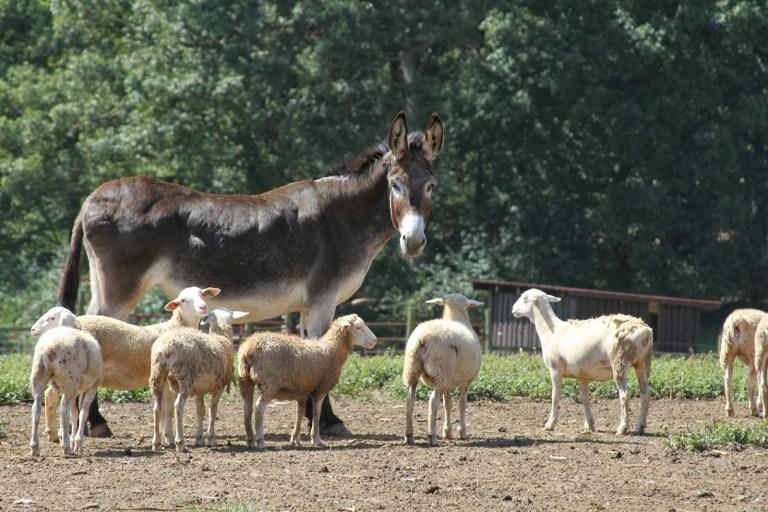 DonkeySheepBiltmore.jpg