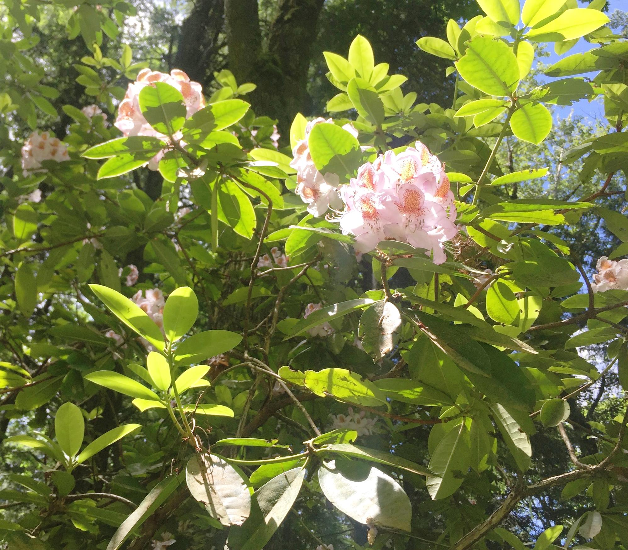 June 9 rhododenderon.JPG