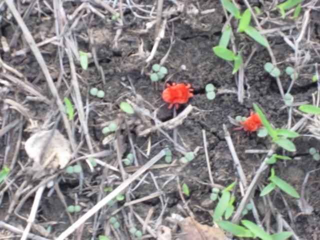 Red Velvet Lice
