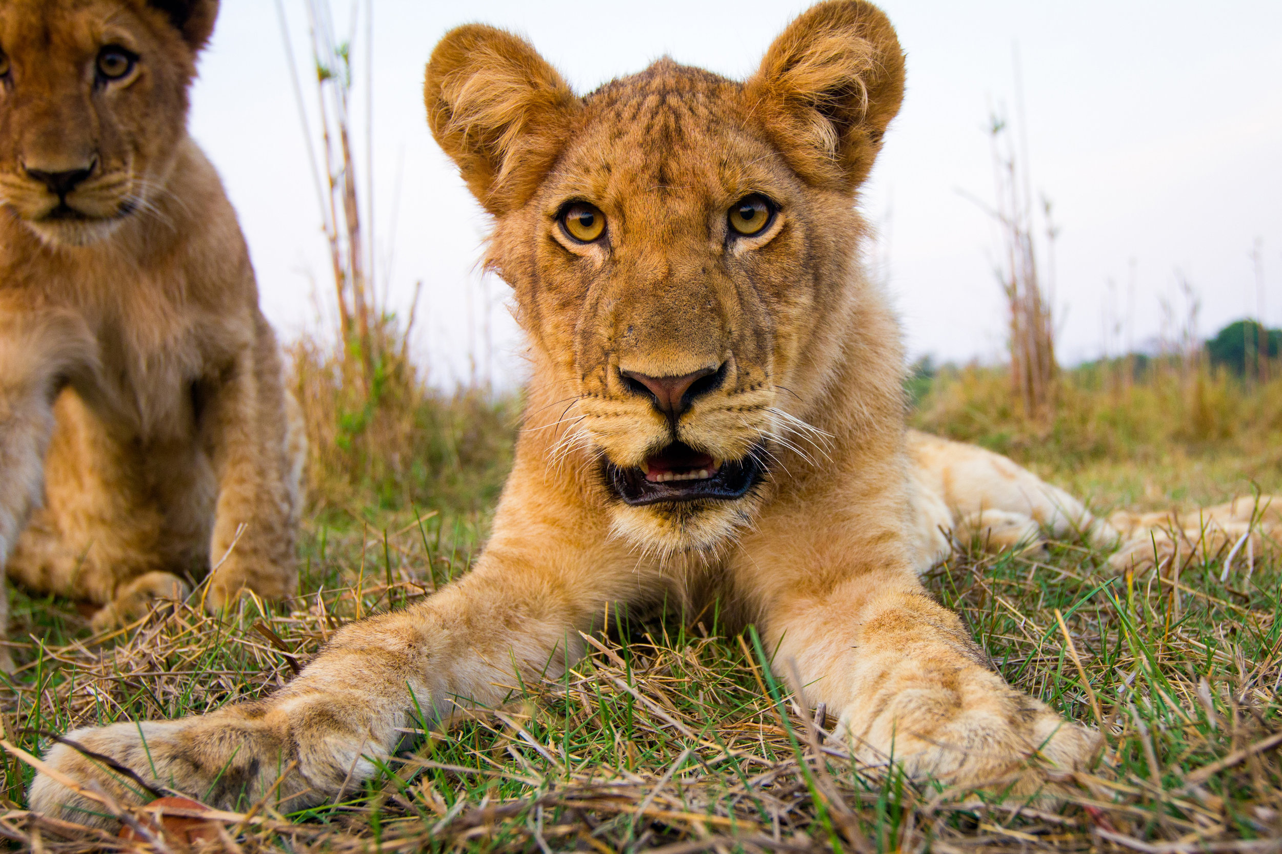 lion_cub_portrait.jpg