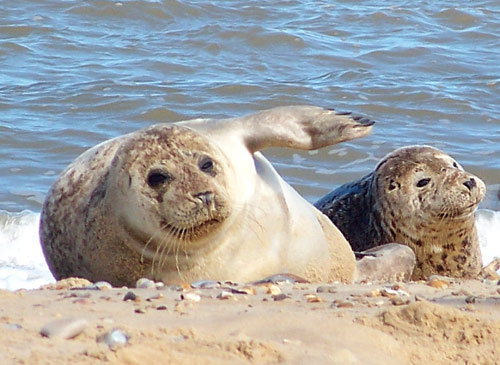 Seal spotting trips - Seal-spotting boat trips operate from Blakeney and Morston and are a very popular and safe way to enjoy a close up view of grey and common seals without disturbing them.  Trips run throughout the season (1st April until 31st October) as well as regularly throughout the winter.  Beans Boat Trips are highly recommended.