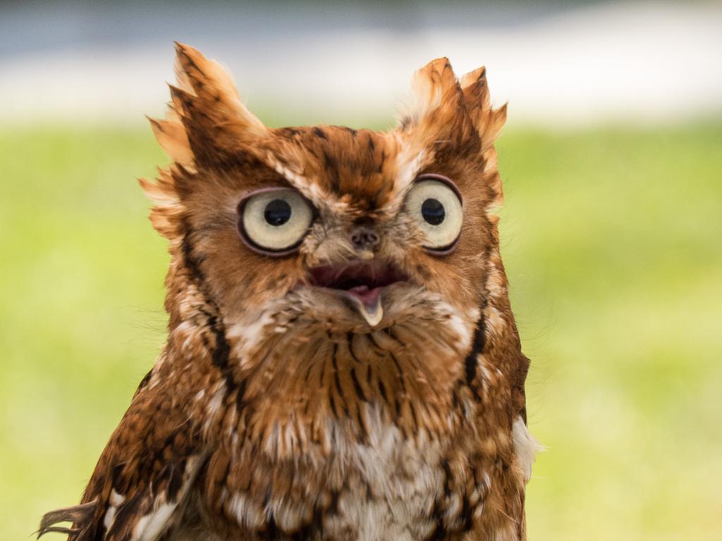 Eastern Screech-owl (rehabilitated) - Photo by Mary Lou Dickson