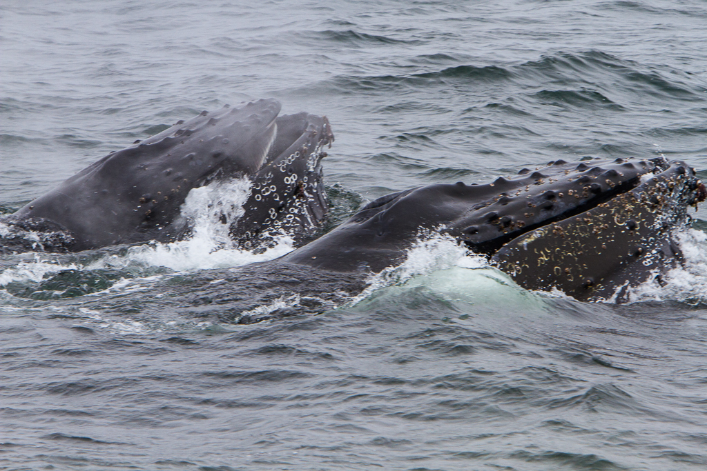 Humpback Whales - Photo by Mary Lou Dickson