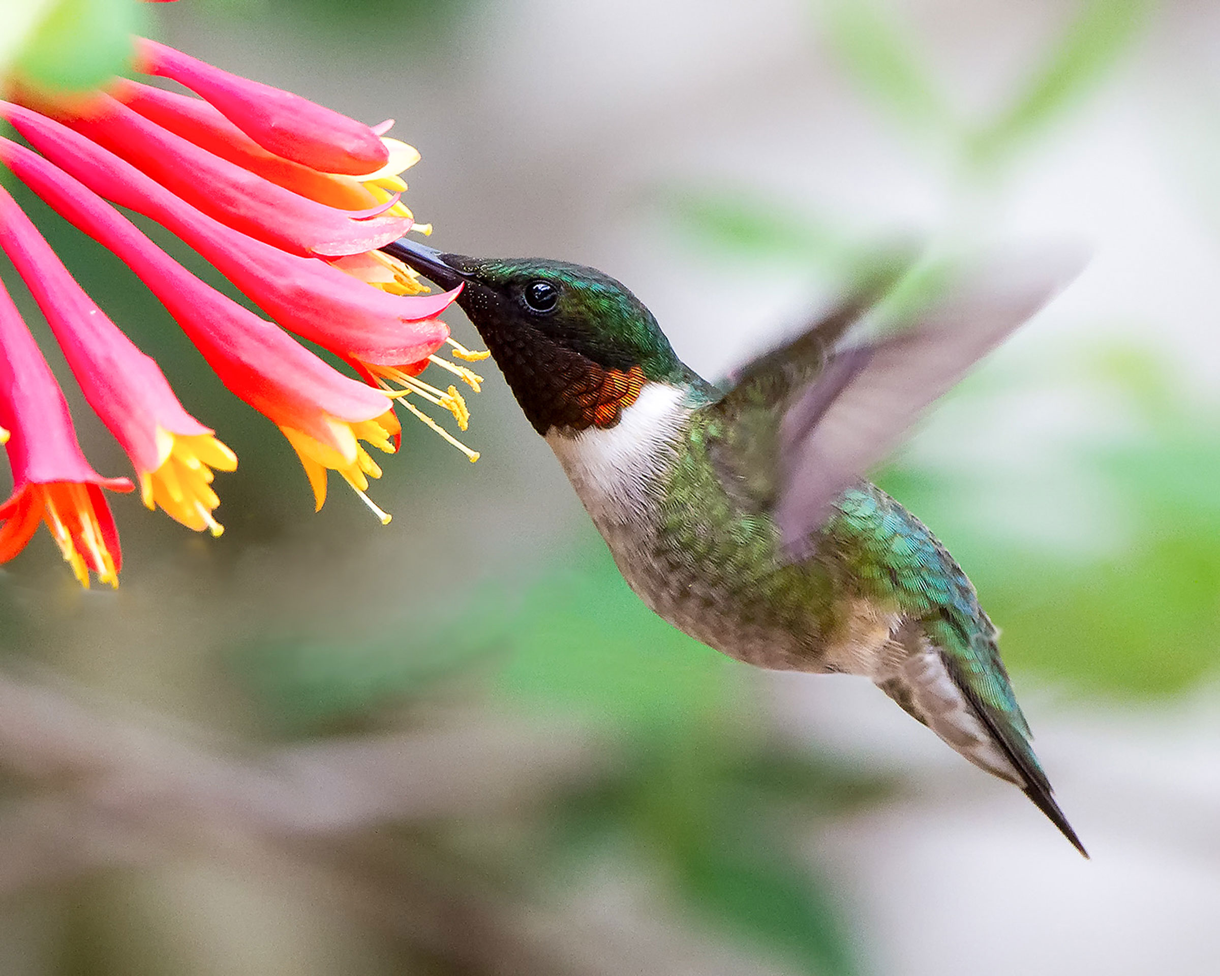 web_apa_2015_davidshipper_ruby-throated_hummingbird_kk.jpg
