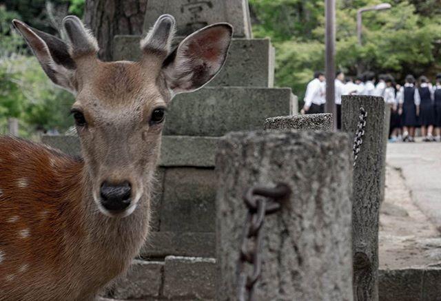 Deer got a message... ©DavidPicarda #Tokyo #blackandwhite #japenese #japan #kyotojapan #travelphotography #travel #kawaii #otaku #fujifilm_xseries #fujixe2 #fujixcamera #fujixclub #japan_daytime_view #mystopover #trip #photooftheday #japaneseart #igjapan  #airnewzealand #mystopover #majestic_earth #instagood  #500px #lnstagramjapan #ig_japan #Kyoto #ilovejapan #ilovekyoto #ilovetokyo #tokyocameraclub