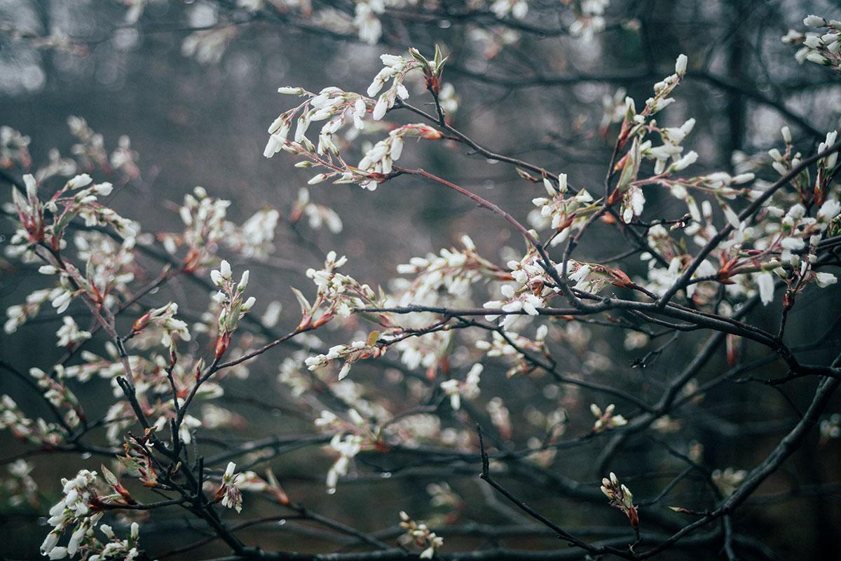 wild-cherry-blossom.jpg