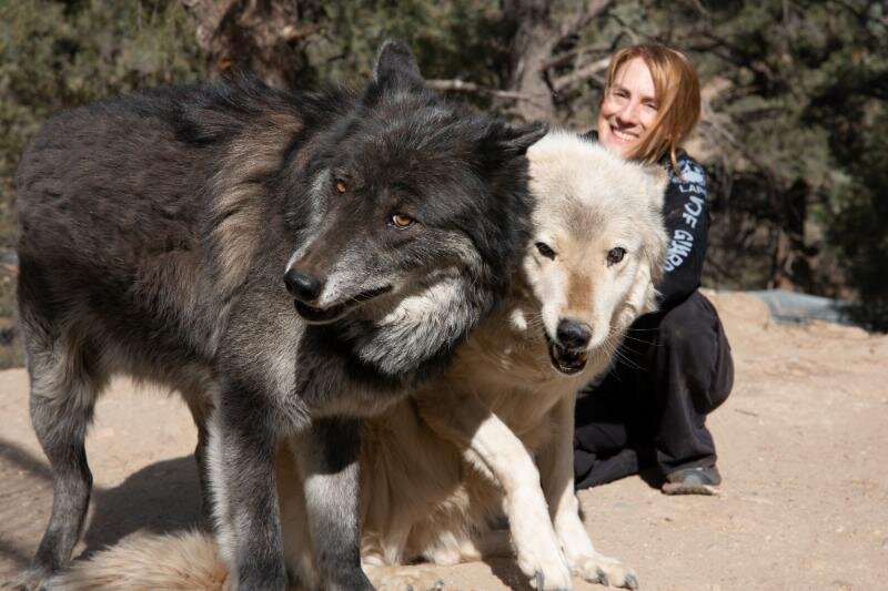Samson and Harmony are both senior wolves and make such a happy pair!