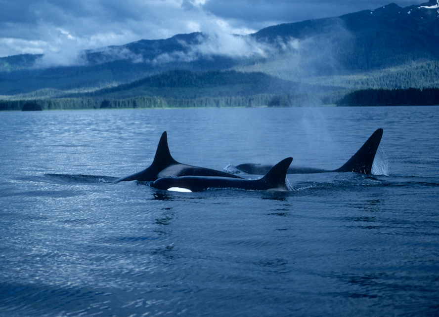 killer whales .png