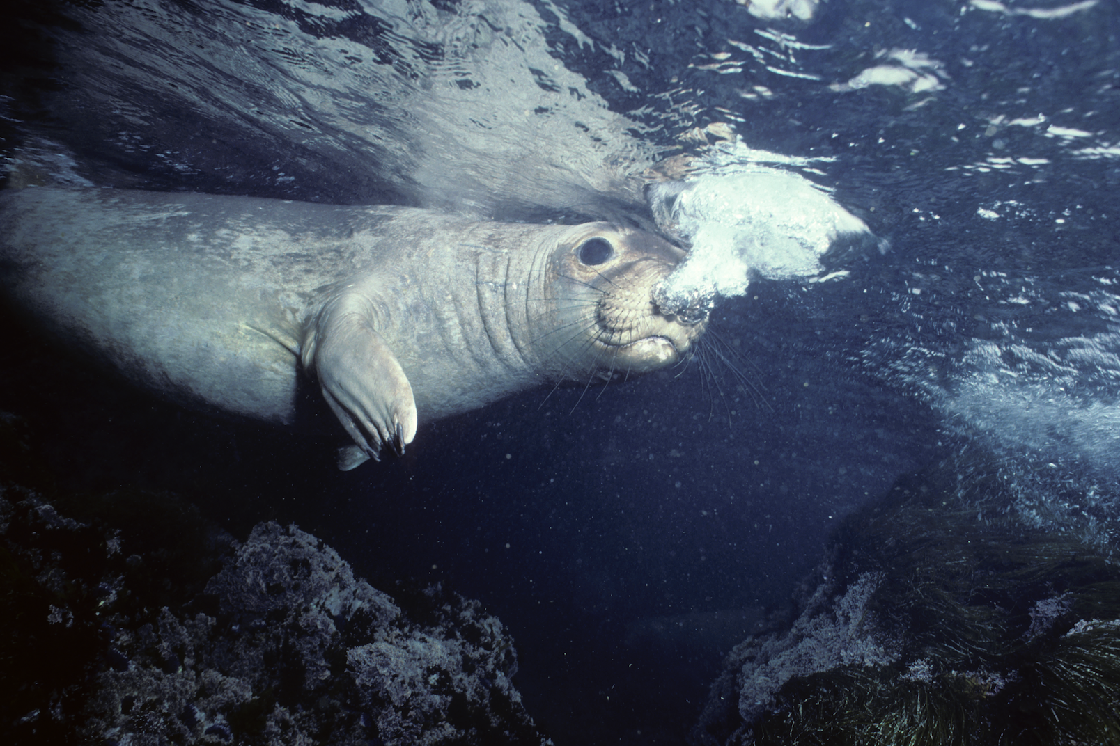 Elephant Seal .png