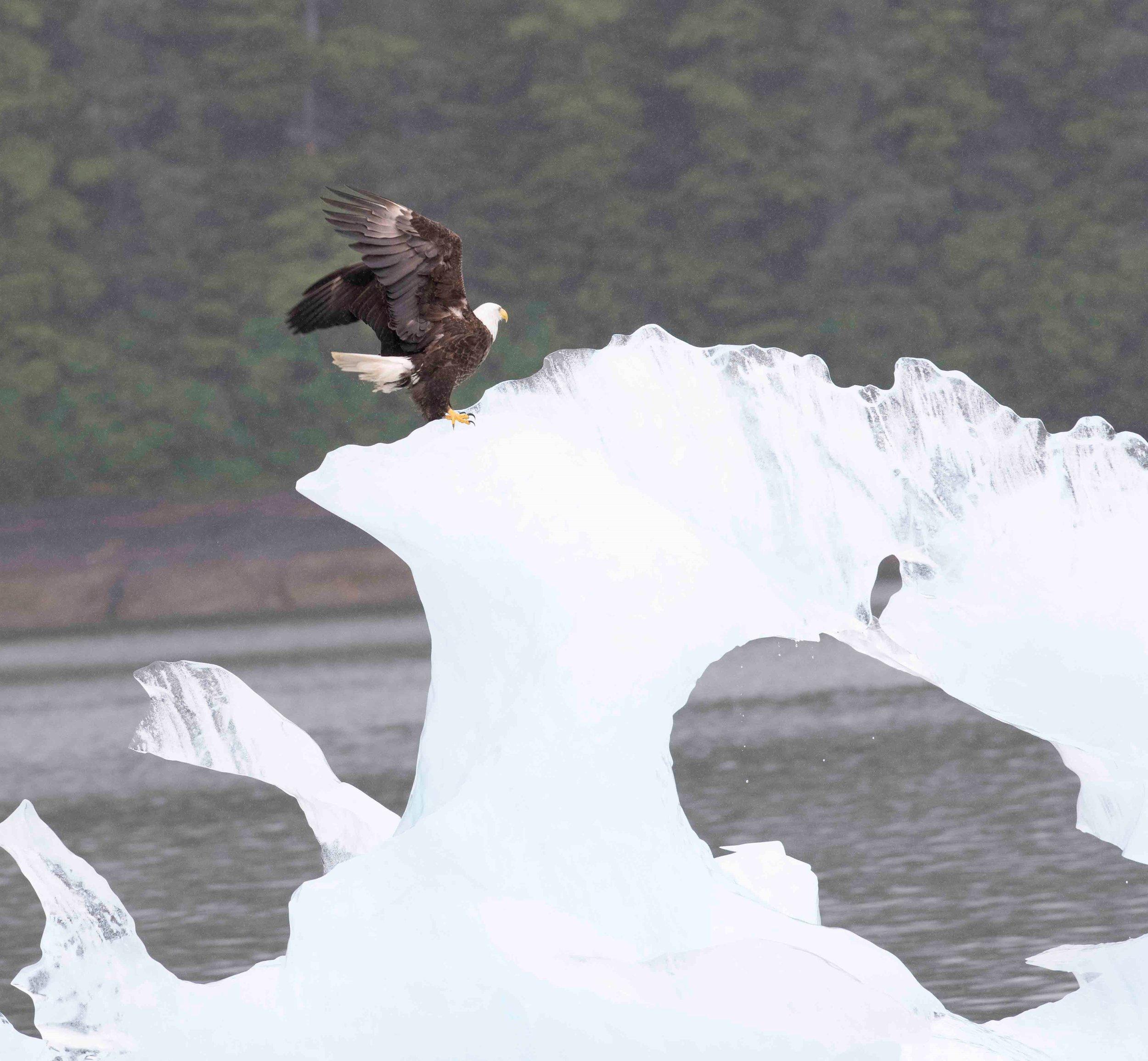 8b. Bald Eagle on Thin ice redo.jpg