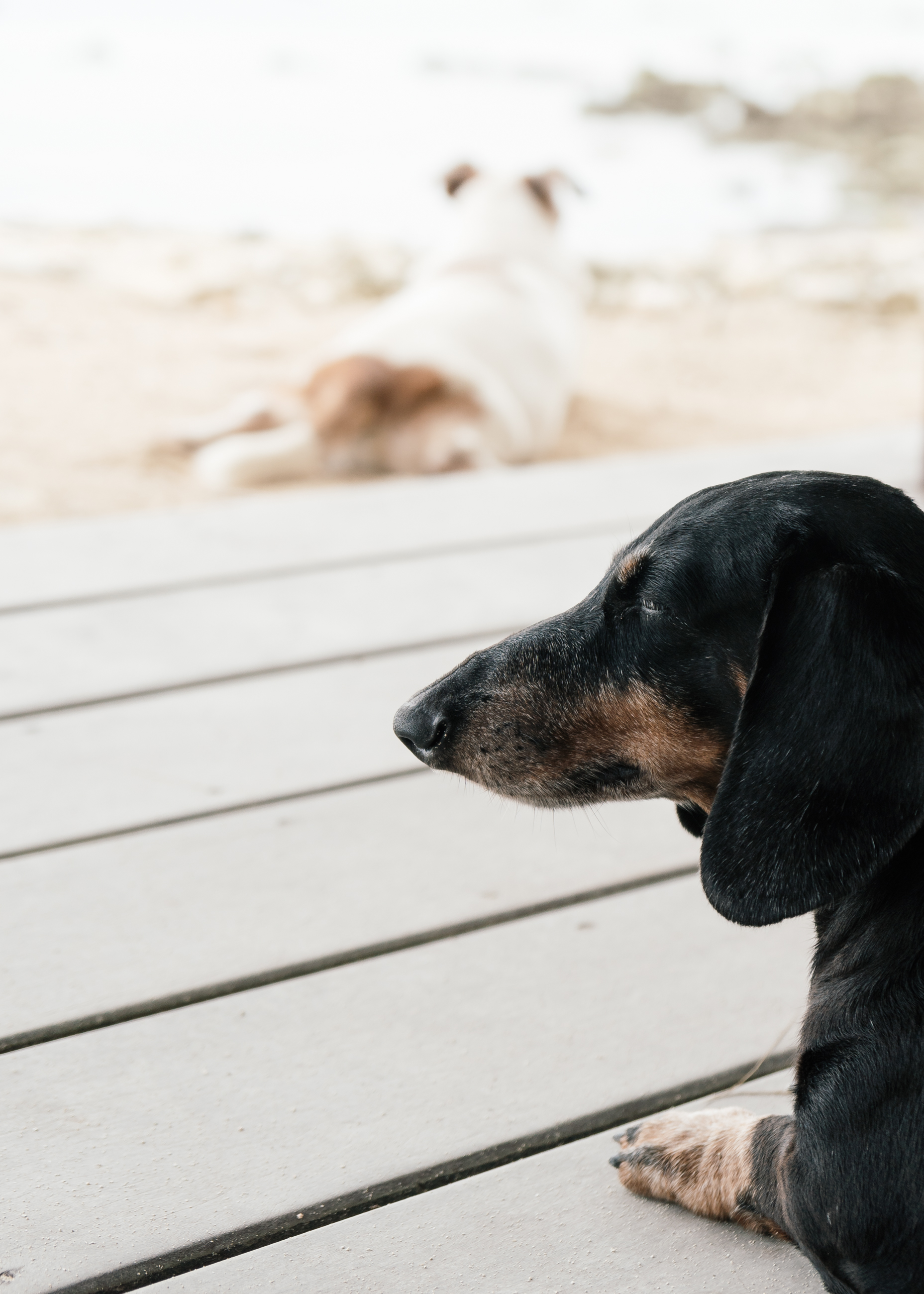 Dachshund in Pacifico Resort Philippines