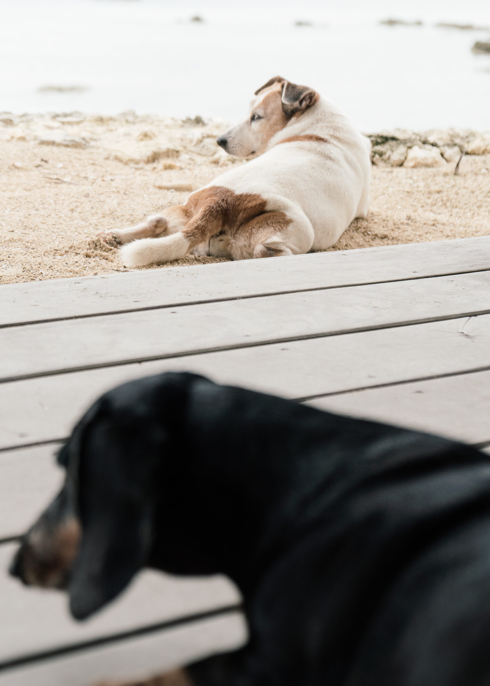 Two dogs in Pacifico Beach Resort Siargao