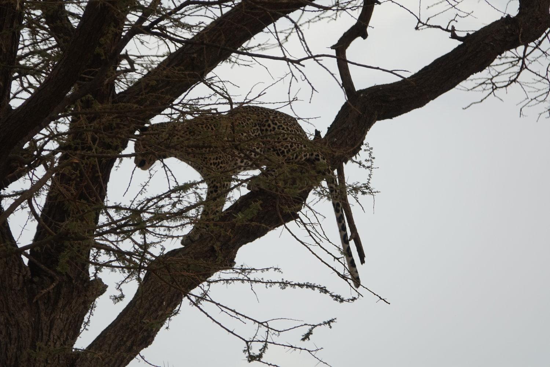 Elusive Leopard in Kenya