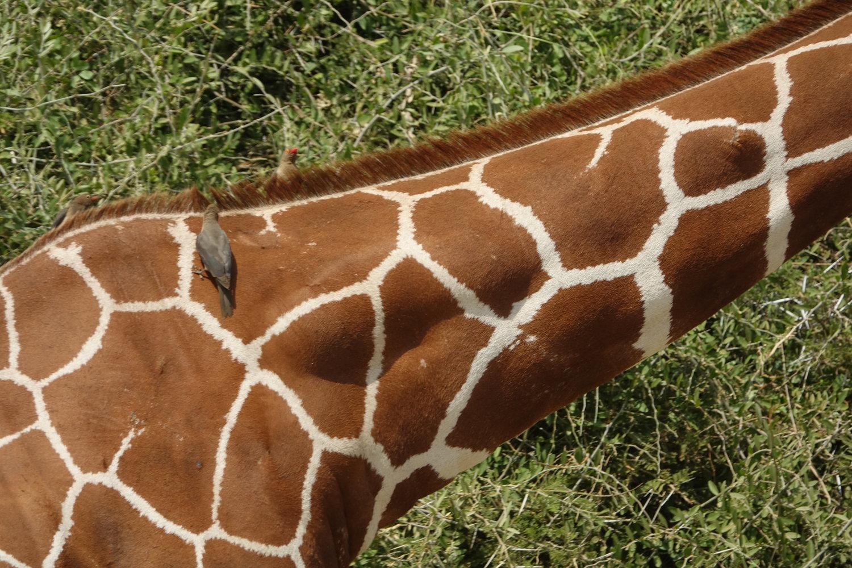 Giraffe & friend - Kenya