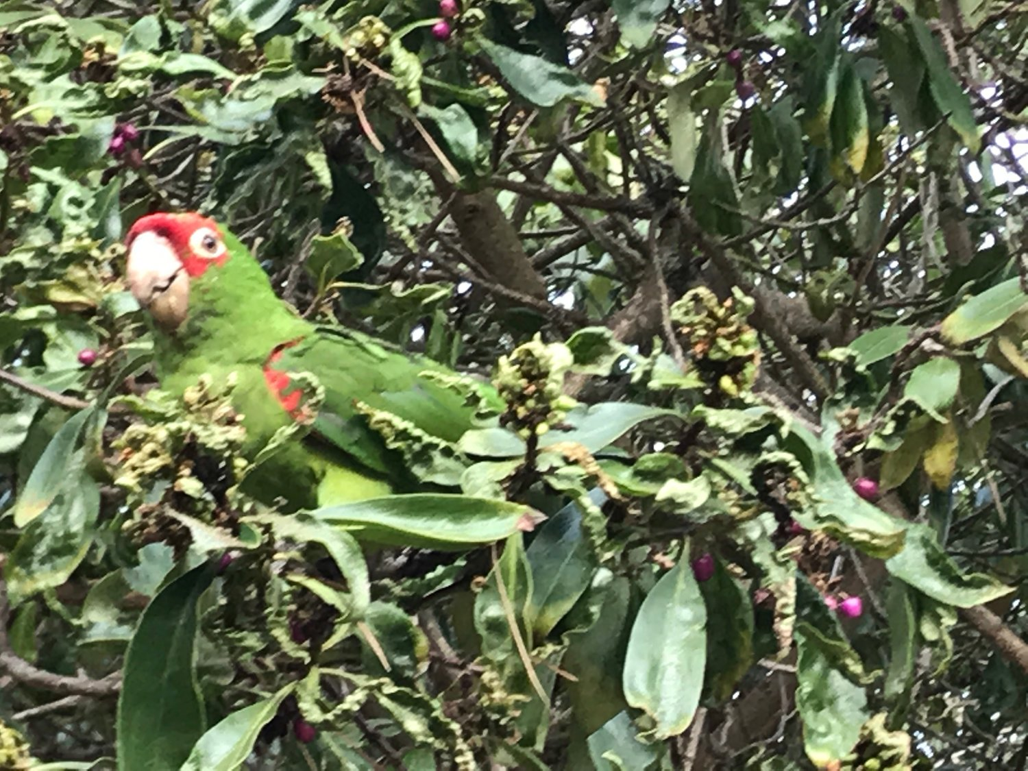 Wild Parrot in San Francisco