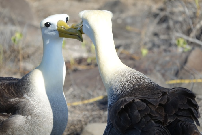Albatross Courting - Galapagos