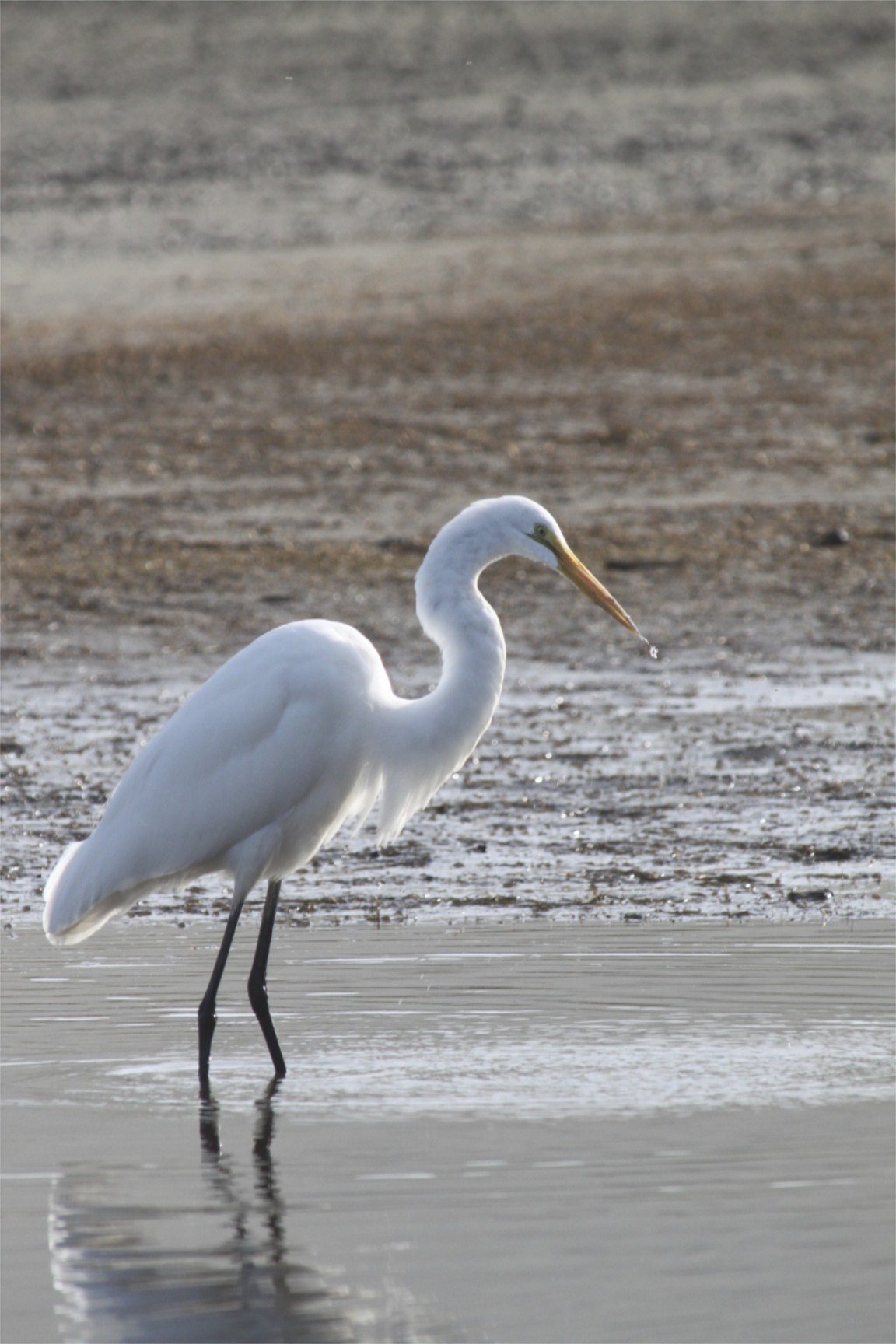 Salmon Creek Snowy Egret