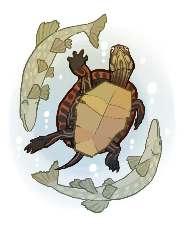 eastern painted turtle pop up copy.png