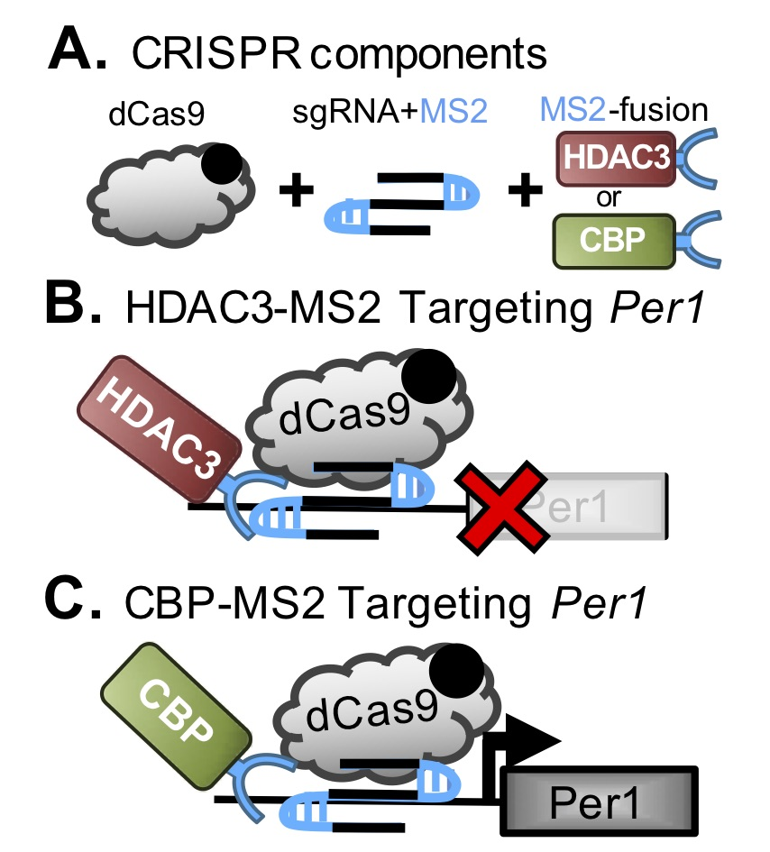 CRISPR system to drive site-specific chromatin remodeling.