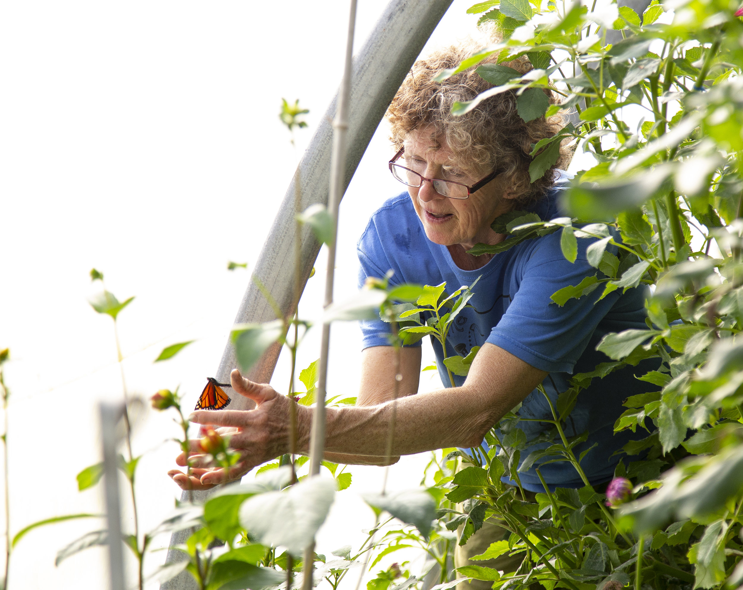 Deb Fisher, a florist, catches a trapped monarch butterfly in one of the greenhouses near her Julian Woods home. One of Fisher's neighbors, Jean Forsberg, raises and releases monarch butterflies, and they occasionally fly into Fisher's greenhouses where she grows her dahlias and the community treats its wastewater.