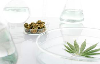 cannabis-petri-350x227.jpg