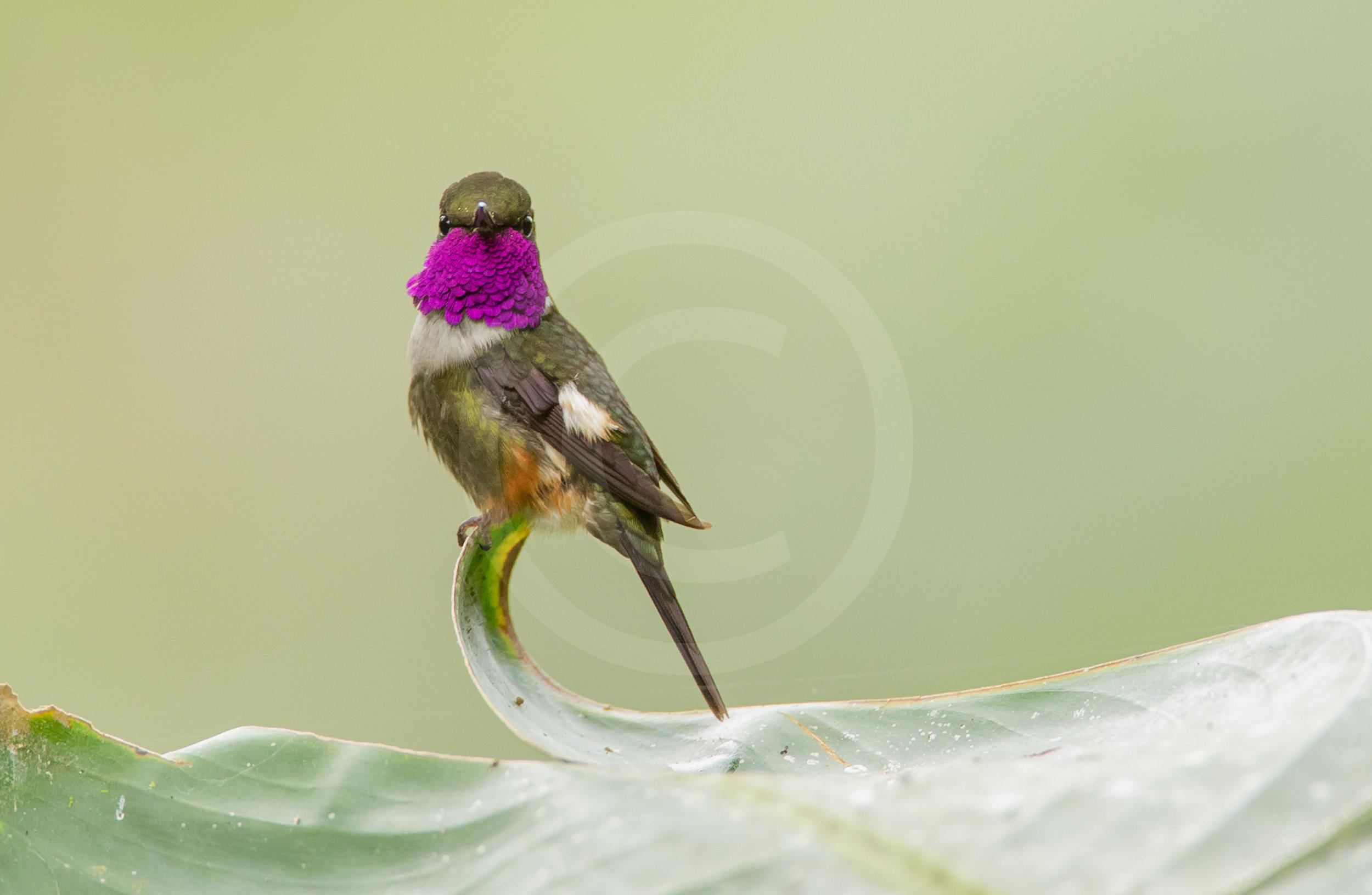 Purple-throated Wood-star