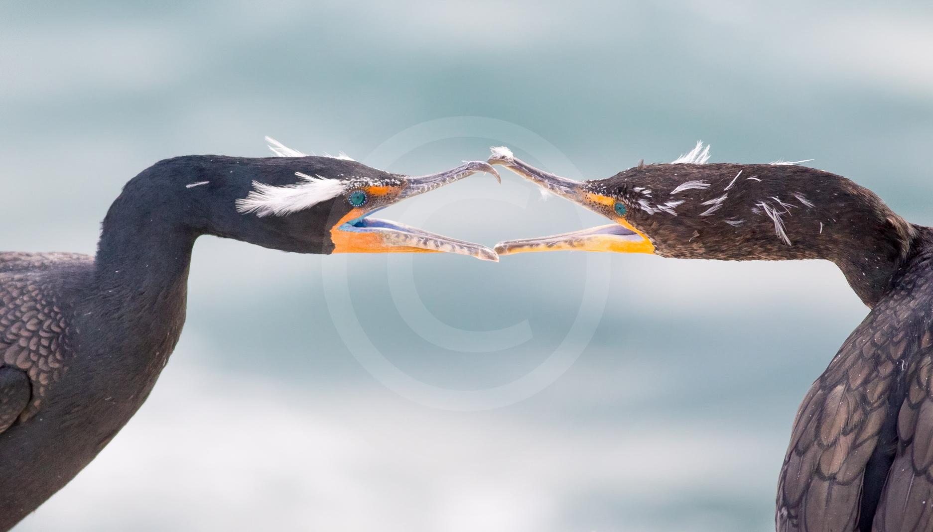 Double-crested Cormorant (Breeding)