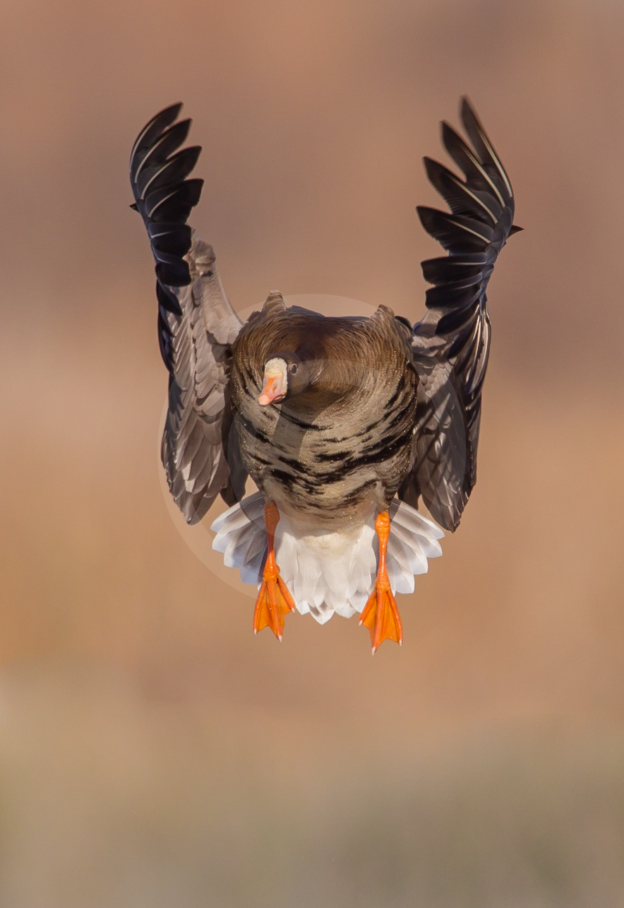 Greater-white Fronted Goose