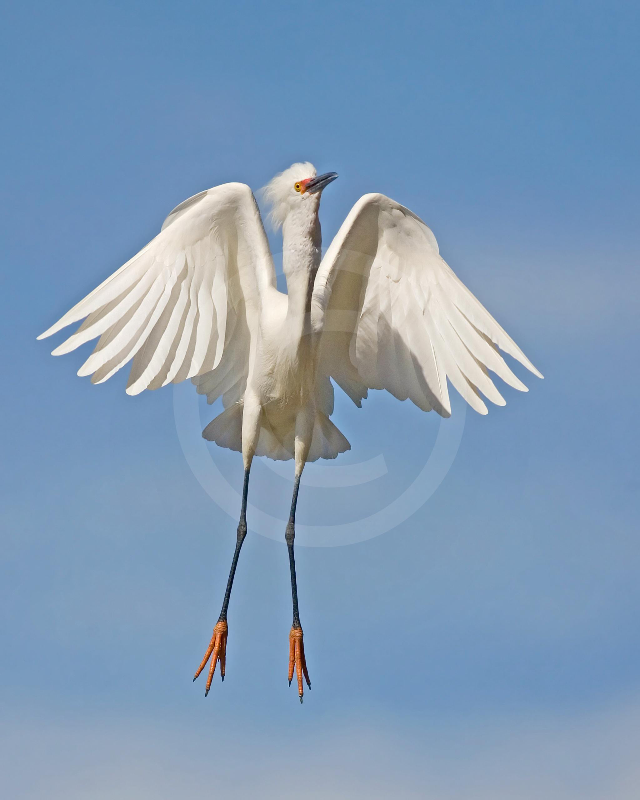 Snowy Egret (Breeding)