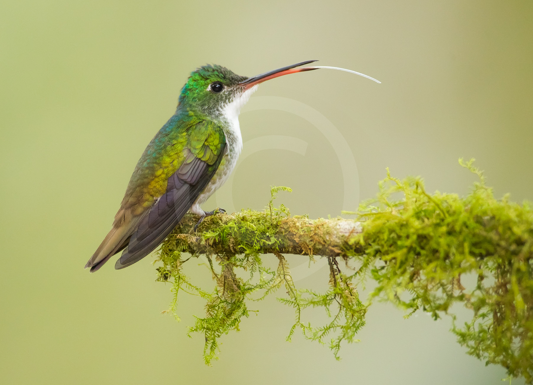 Andean Emerald