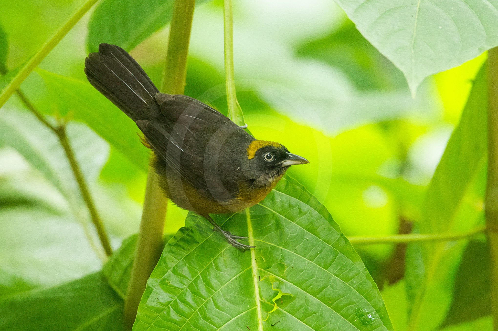 Dusky-faced Tanager