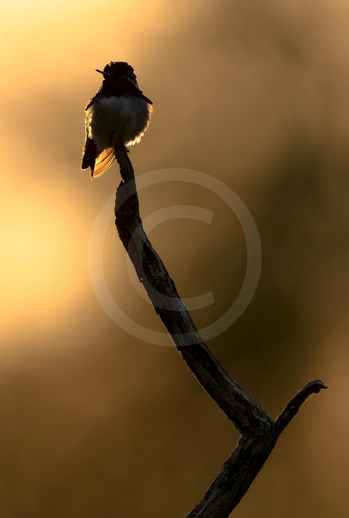 """Costa's Hummingbird """"Haloed"""""""