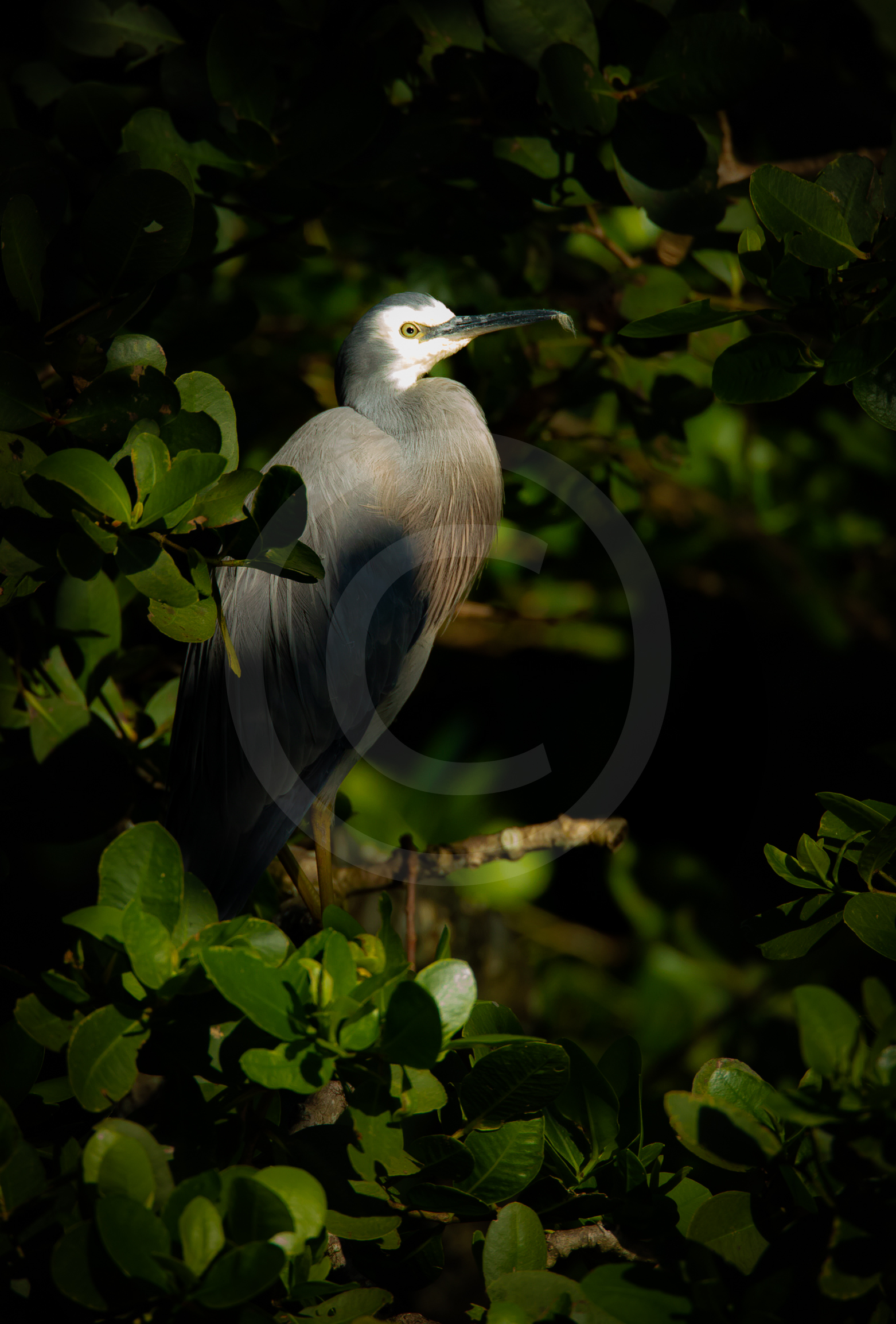 """White-faced Heron """"From the Shadows"""""""