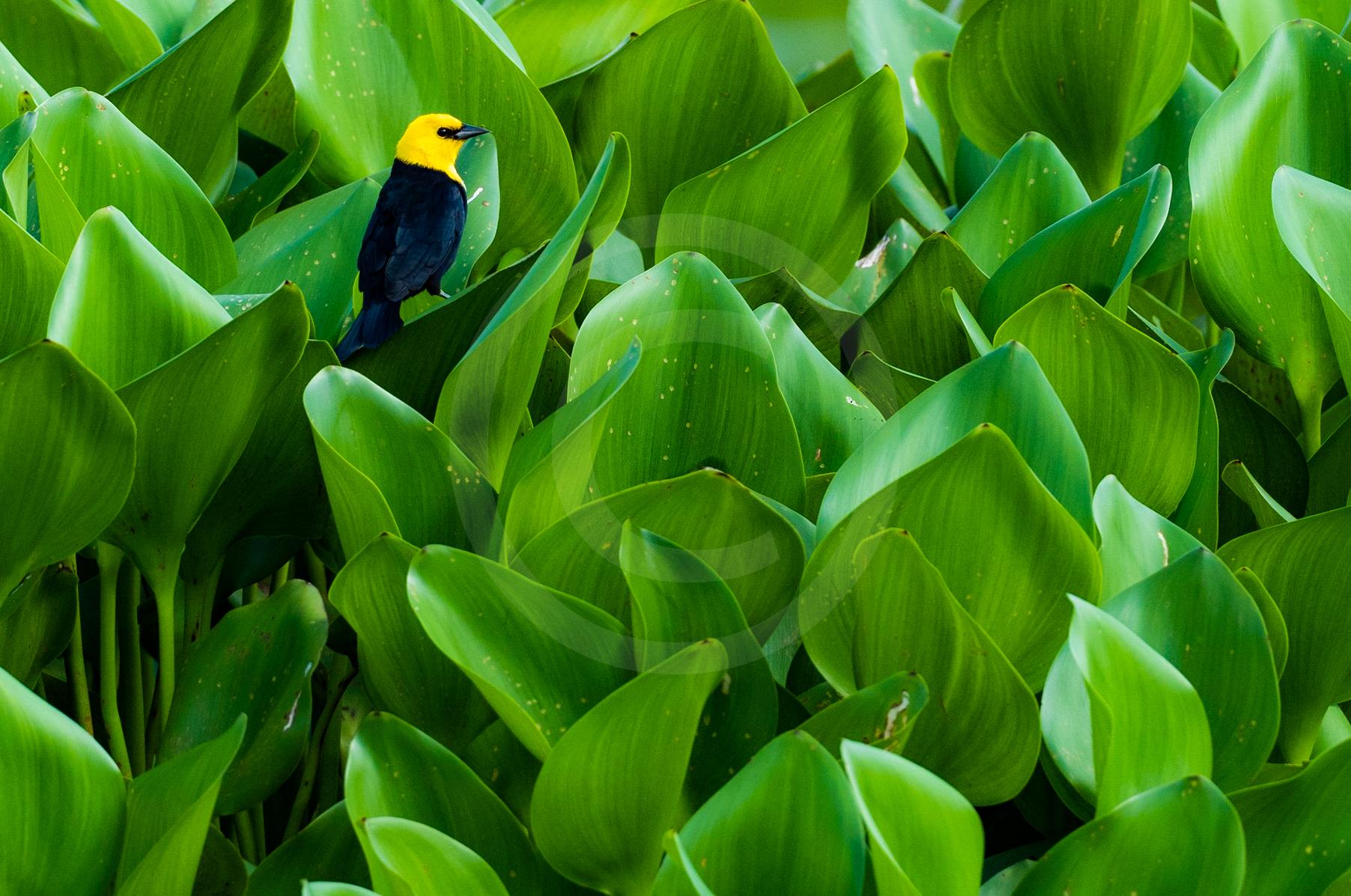 """Yellow-hooded Blackbird """"Amongst the Weeds"""""""