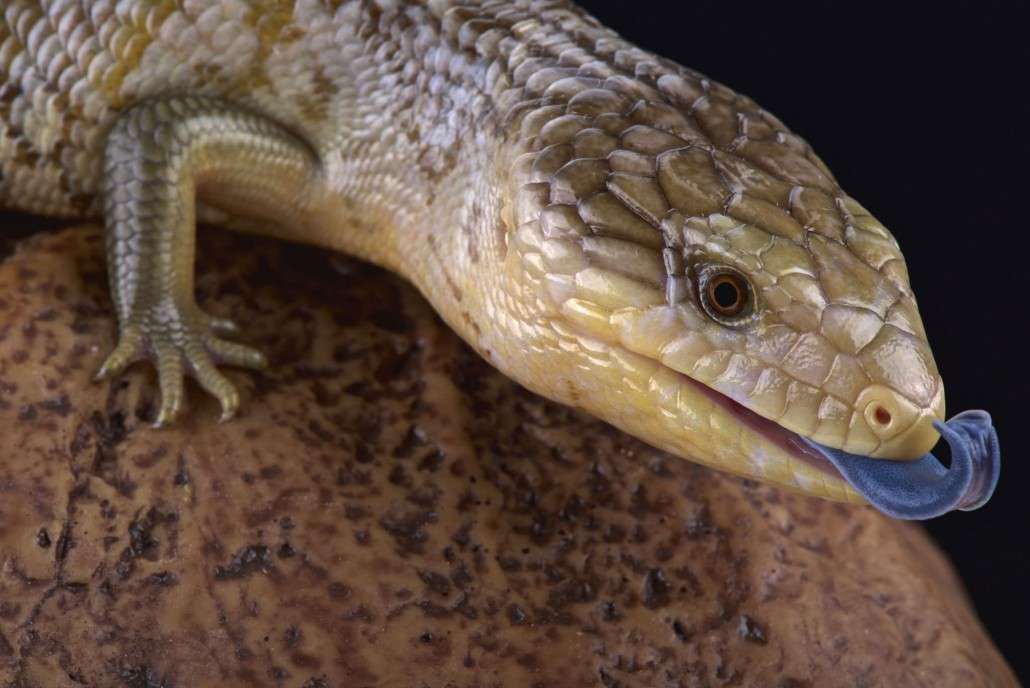 blue tongue lizard.jpg