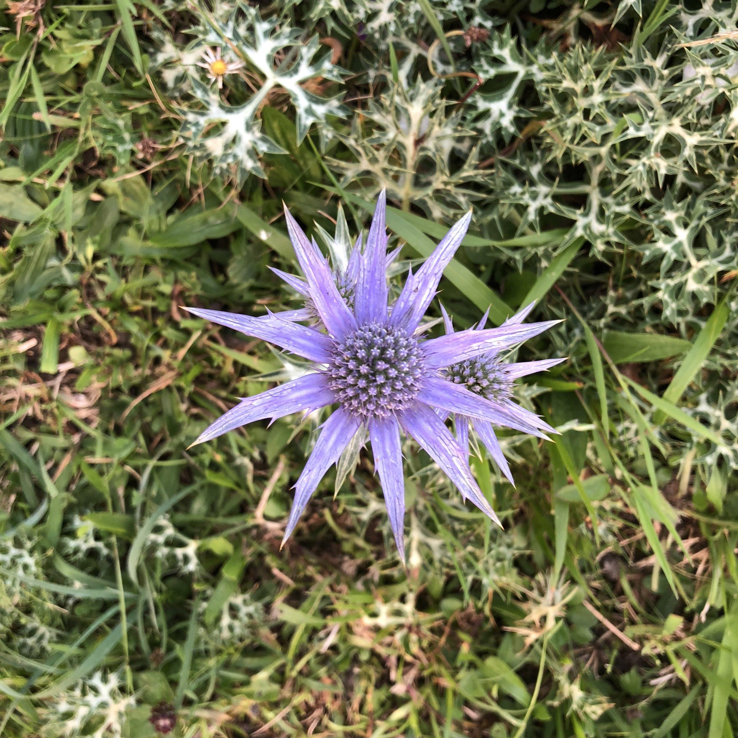 Flor de montaña en los lagos de Covadonga.