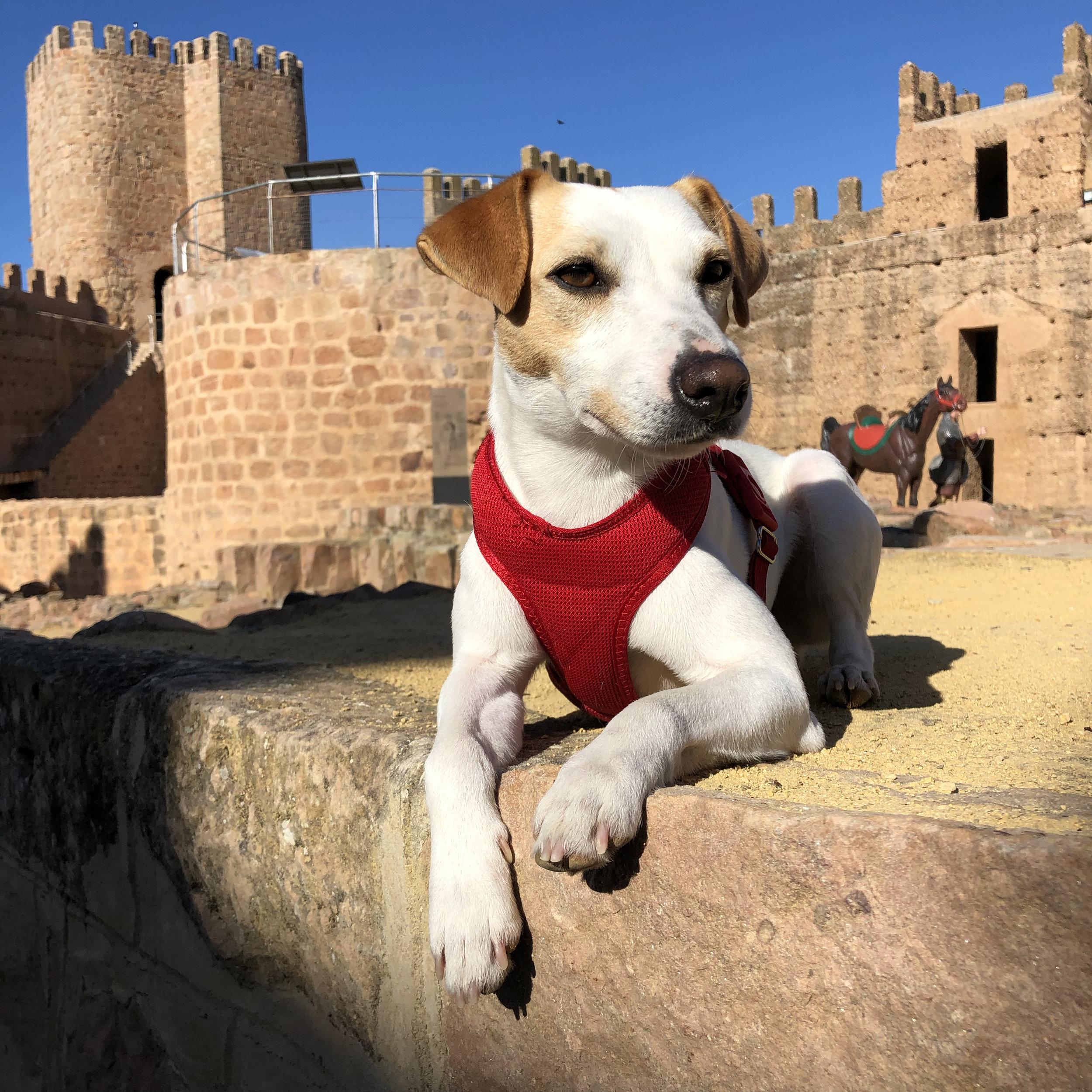 Pipper en el Castillo de Burgalimar en Baños de la Encina.