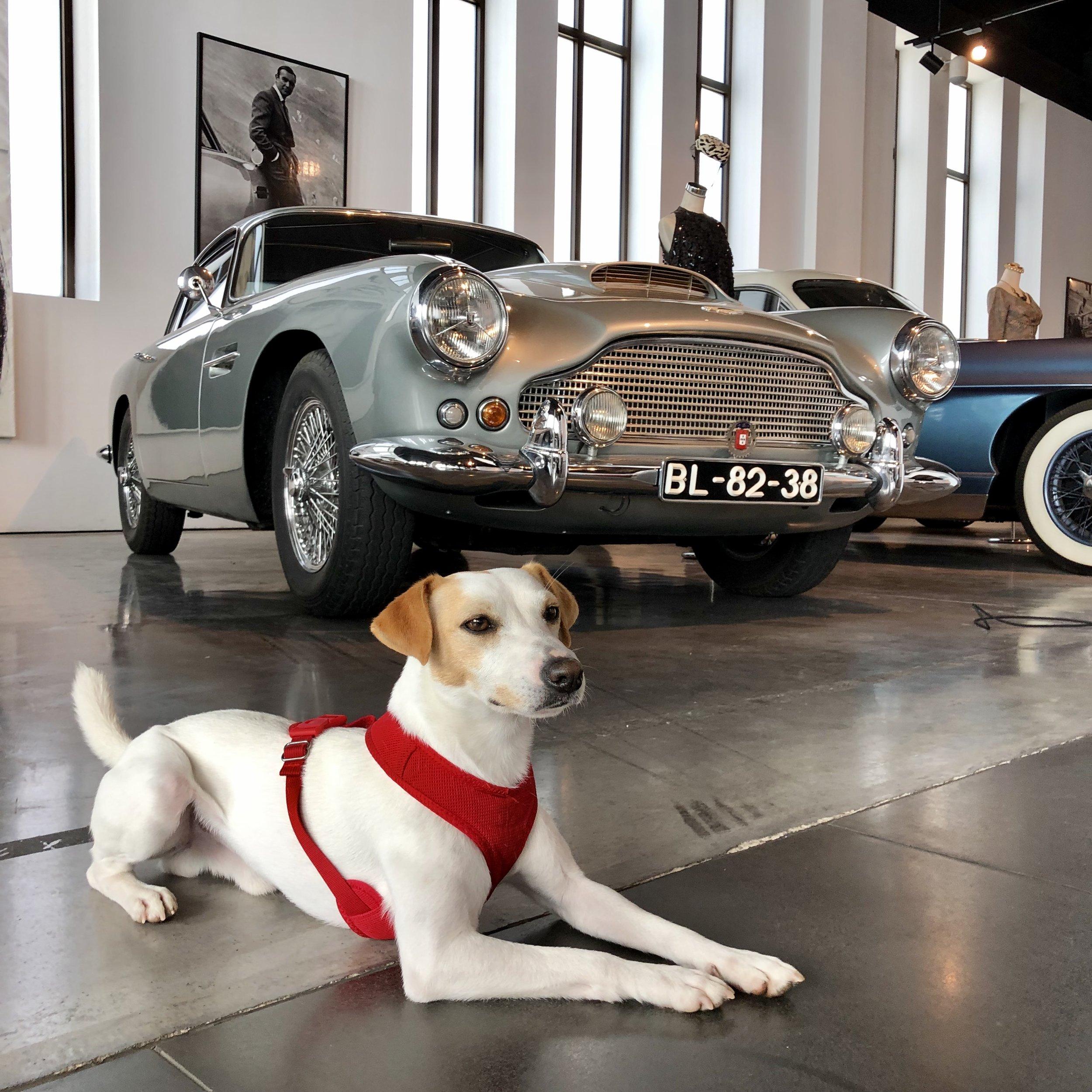 Pipper en el Museo del Automóvil y la Moda dogfriendly.